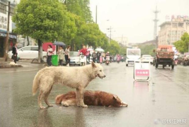 Chú chó tình nghĩa ra sức bảo vệ và lay người bạn đã chết dậy - Ảnh 2.