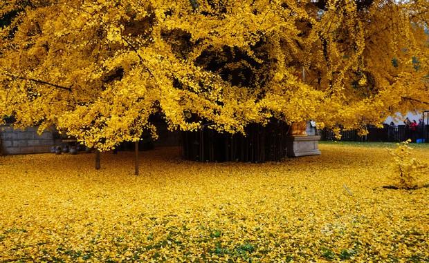 Thảm lá vàng đẹp đến nao lòng dưới gốc cây ngân hạnh nghìn năm tuổi thu hút tới 70.000 du khách/ngày - Ảnh 5.