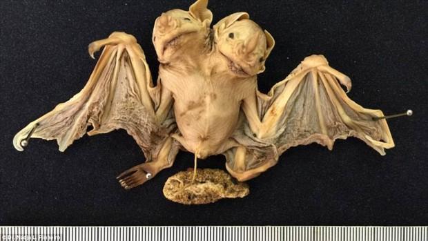 Phát hiện xác dơi 2 đầu ở Brazil - nghi là quái thú ai nhìn cũng đứng hình - Ảnh 1.