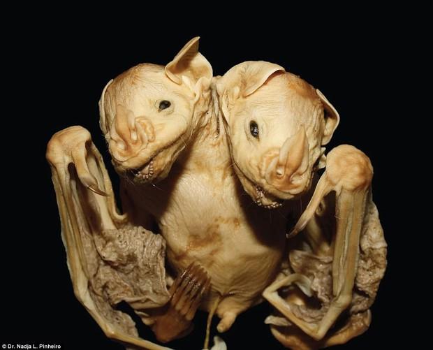 Phát hiện xác dơi 2 đầu ở Brazil - nghi là quái thú ai nhìn cũng đứng hình - Ảnh 4.