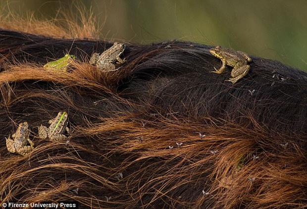 Hãy nhìn bức ảnh con trâu này thật kỹ, bạn sẽ thấy một hiện tượng rất kỳ lạ mà khoa học chưa thể giải thích - Ảnh 2.