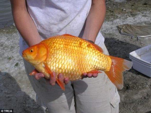 Từ cá chép vàng nuôi làm cảnh thành quái vật, đây là quy tắc người nuôi nhất định phải biết - Ảnh 2.