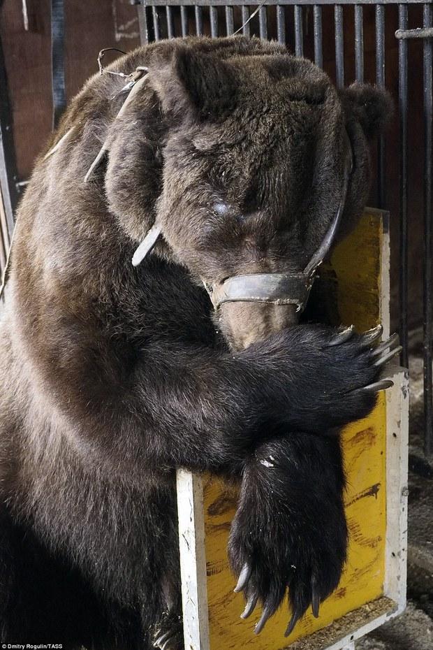 Chùm ảnh: Phía sau ánh đèn sân khấu là nỗi buồn của 2 chú gấu xiếc bị bỏ rơi - Ảnh 9.
