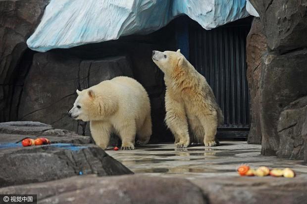Không tin nổi ở Trung Quốc người ta tranh nhau chi tới 3 triệu đồng để được đi hót phân cho Gấu Bắc Cực - Ảnh 3.