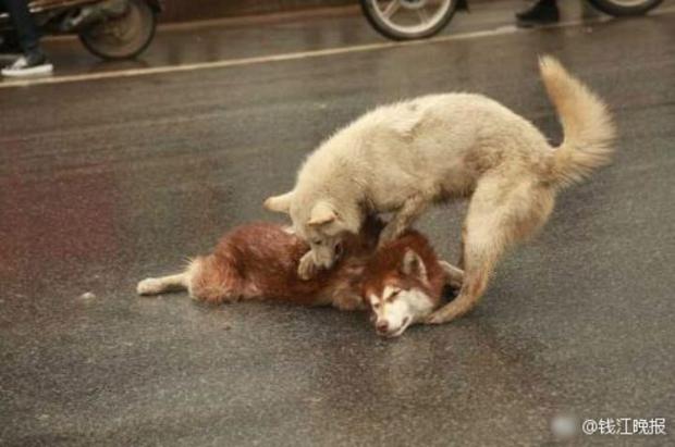 Chú chó tình nghĩa ra sức bảo vệ và lay người bạn đã chết dậy - Ảnh 4.