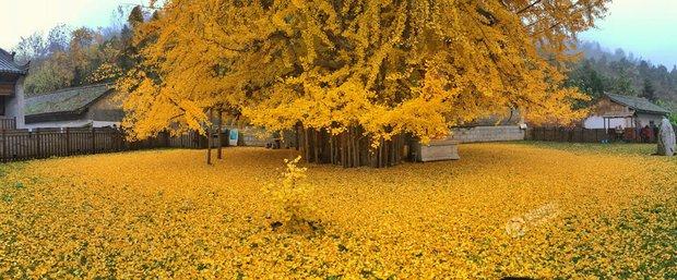 Thảm lá vàng đẹp đến nao lòng dưới gốc cây ngân hạnh nghìn năm tuổi thu hút tới 70.000 du khách/ngày - Ảnh 2.