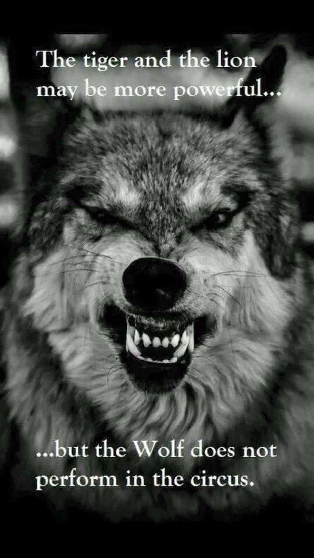 Bạn không bao giờ thấy chó sói trong rạp xiếc và lý do bất ngờ đằng sau - Ảnh 1.