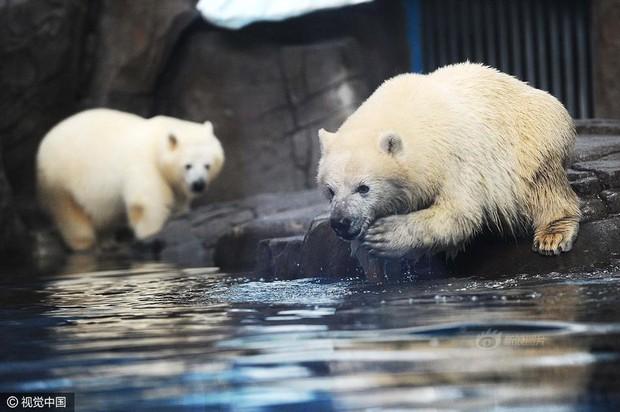 Không tin nổi ở Trung Quốc người ta tranh nhau chi tới 3 triệu đồng để được đi hót phân cho Gấu Bắc Cực - Ảnh 4.