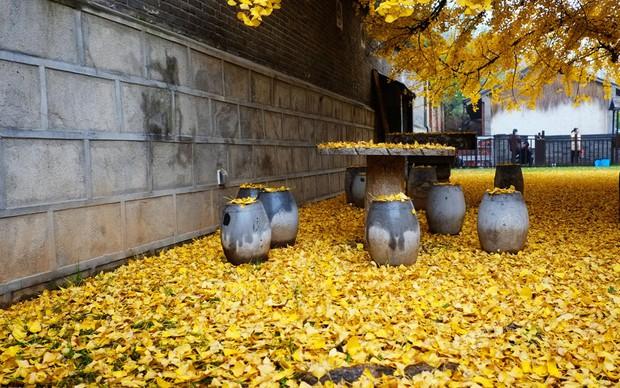 Thảm lá vàng đẹp đến nao lòng dưới gốc cây ngân hạnh nghìn năm tuổi thu hút tới 70.000 du khách/ngày - Ảnh 6.