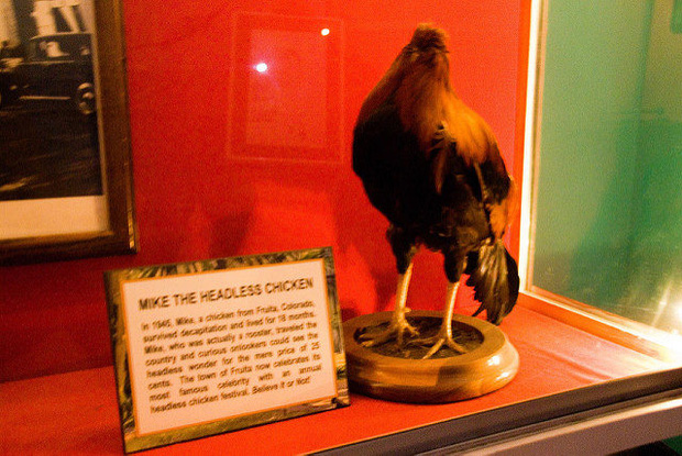 Chú gà không đầu vẫn sống 18 tháng: câu chuyện thật mà đến tận giờ vẫn chẳng mấy người tin - Ảnh 2.