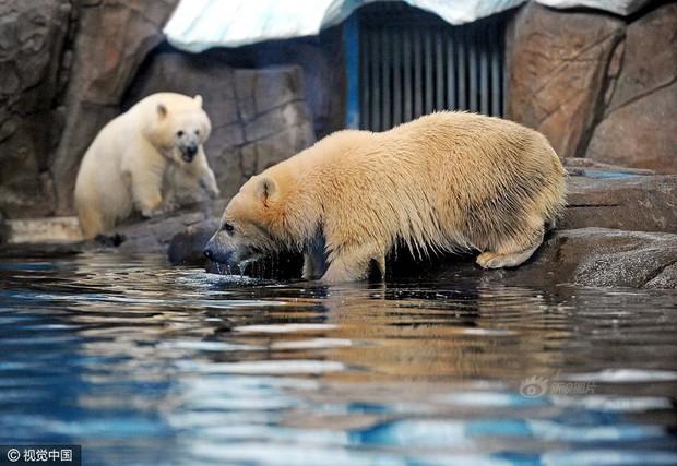 Không tin nổi ở Trung Quốc người ta tranh nhau chi tới 3 triệu đồng để được đi hót phân cho Gấu Bắc Cực - Ảnh 5.