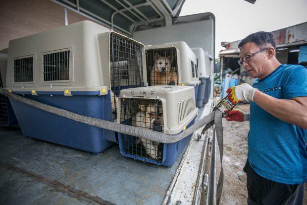 Hàn Quốc: Giải cứu thành công 149 chú chó sắp bị giết thịt mang ra chợ bán - Ảnh 7.