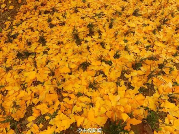 Thảm lá vàng đẹp đến nao lòng dưới gốc cây ngân hạnh nghìn năm tuổi thu hút tới 70.000 du khách/ngày - Ảnh 7.