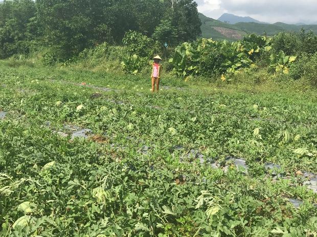 Nông dân Quảng Ngãi phải đem dưa hấu đổ cho bò ăn: Cần lắm sự chung tay giải cứu của cộng đồng - Ảnh 1.