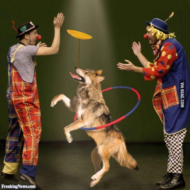 Bạn không bao giờ thấy chó sói trong rạp xiếc và lý do bất ngờ đằng sau - Ảnh 2.