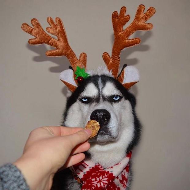 Gặp gỡ chú chó có khuôn mặt cau có nhất mùa Giáng Sinh - Ảnh 9.