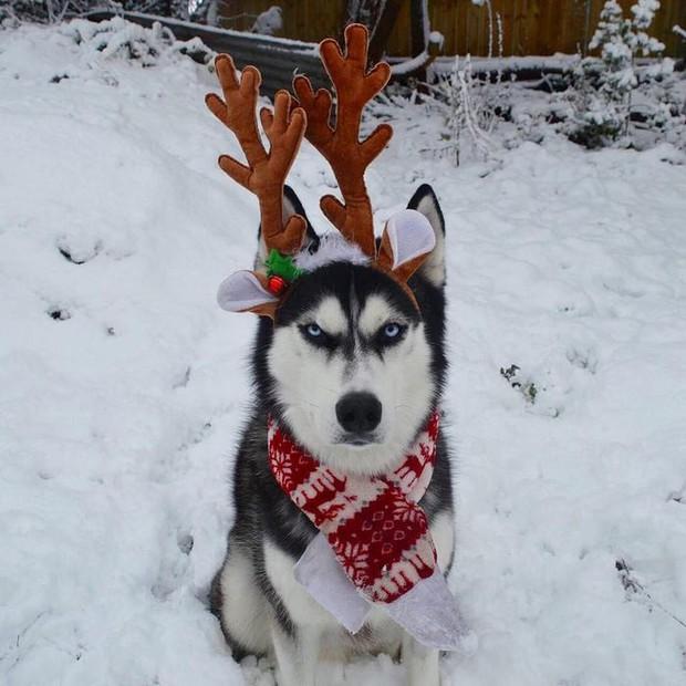 Gặp gỡ chú chó có khuôn mặt cau có nhất mùa Giáng Sinh - Ảnh 15.