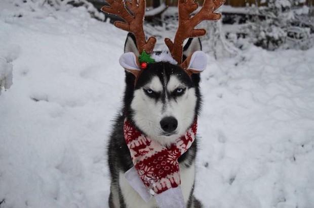 Gặp gỡ chú chó có khuôn mặt cau có nhất mùa Giáng Sinh - Ảnh 13.