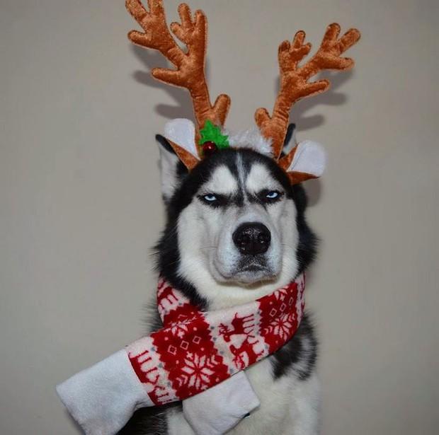 Gặp gỡ chú chó có khuôn mặt cau có nhất mùa Giáng Sinh - Ảnh 11.