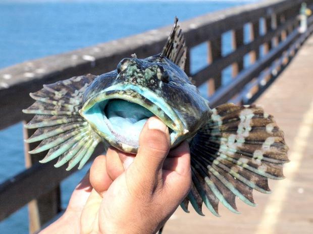 Cận cảnh loài cá có thịt xanh lè dài đến 1m đặc biệt nhất hành tinh - Ảnh 5.
