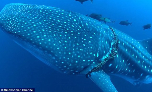 Mexico: Cá mập voi khổng lồ bị thương, tìm đến con người nhờ giúp đỡ - Ảnh 1.