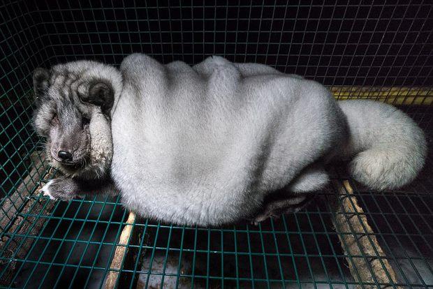 Cục mỡ đầy ngấn này thực chất là những con cáo công nghiệp trong lò nuôi lấy lông - Ảnh 3.