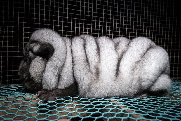 Sự thật tàn ác trần trụi trong các lò nuôi của ngành công nghiệp lông thú - Ảnh 1.