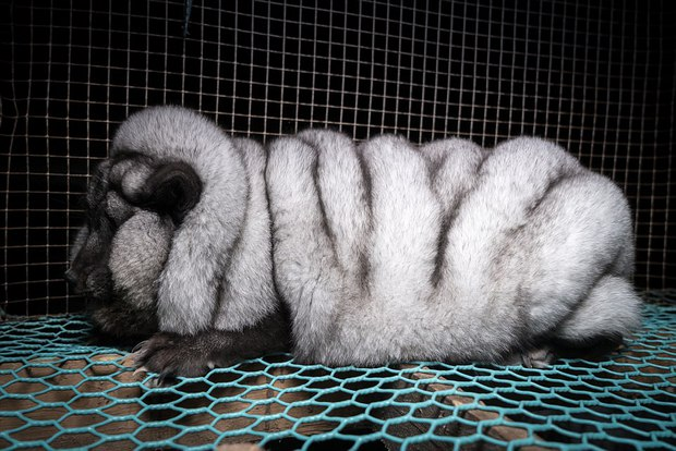 Cục mỡ đầy ngấn này thực chất là những con cáo công nghiệp trong lò nuôi lấy lông - Ảnh 2.