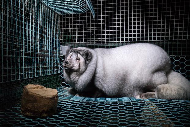 Cục mỡ đầy ngấn này thực chất là những con cáo công nghiệp trong lò nuôi lấy lông - Ảnh 5.