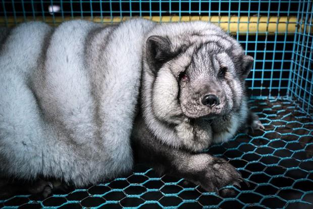 Cục mỡ đầy ngấn này thực chất là những con cáo công nghiệp trong lò nuôi lấy lông - Ảnh 7.