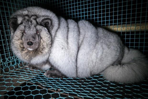 Cục mỡ đầy ngấn này thực chất là những con cáo công nghiệp trong lò nuôi lấy lông - Ảnh 4.