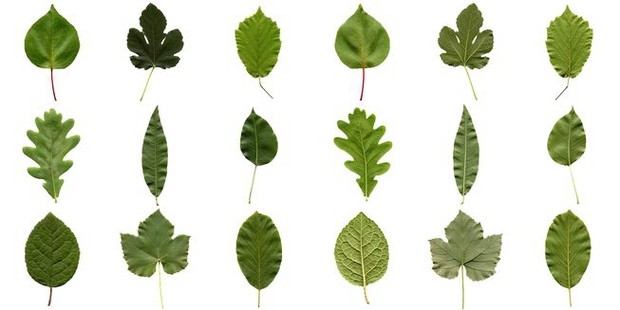 Khoa học tìm ra vì sao kích cỡ lá cây khác nhau - lá thì to vĩ đại, lá thì bé tin hin - Ảnh 1.