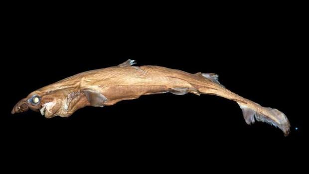 Xác nhận sự tồn tại của loài cá mập tí hon, nhưng biết phát sáng và có gương mặt của quỷ sứ - Ảnh 1.