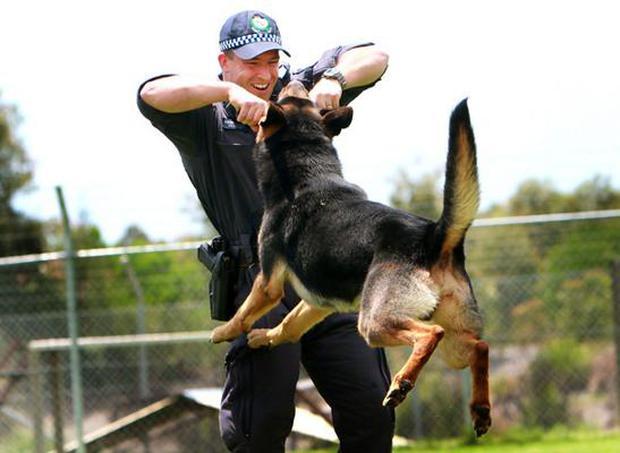 Bạn sẽ kinh ngạc khi biết đến quy trình chặt chẽ để huấn luyện một chú chó cảnh sát - Ảnh 8.
