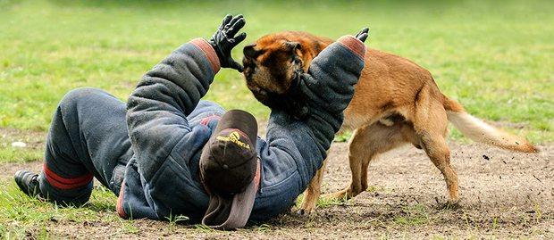 Bạn sẽ kinh ngạc khi biết đến quy trình chặt chẽ để huấn luyện một chú chó cảnh sát - Ảnh 7.