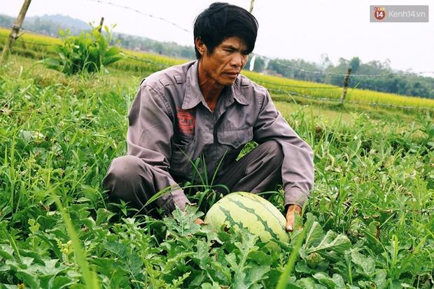 Nông dân Quảng Ngãi phải đem dưa hấu đổ cho bò ăn: Cần lắm sự chung tay giải cứu của cộng đồng - Ảnh 5.