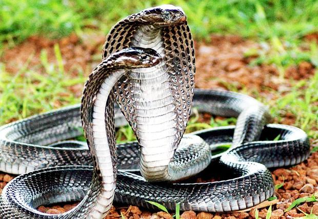 Trăn Anaconda vs rắn hổ mang chúa - quái vật đụng độ, loài nào thắng? - Ảnh 4.