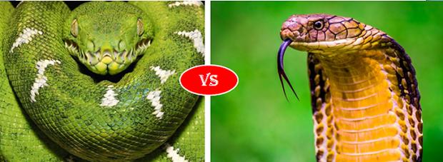 Trăn Anaconda vs rắn hổ mang chúa - quái vật đụng độ, loài nào thắng? - Ảnh 1.