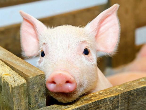 Loài lợn - nguồn thực phẩm nuôi dưỡng chúng ta hàng ngày sẽ có thể trở thành cứu tinh trong Y học - Ảnh 2.
