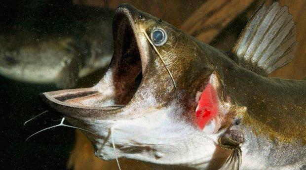 Sự thật quái vật cá lớn nuốt cá bé đang xôn xao cư dân mạng - Ảnh 3.