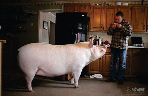 Nàng heo nái nặng gần 300kg chỉ thích ăn kem và bánh ngọt - Ảnh 1.