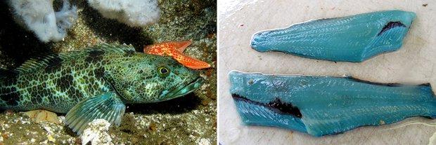 Cận cảnh loài cá có thịt xanh lè dài đến 1m đặc biệt nhất hành tinh - Ảnh 2.