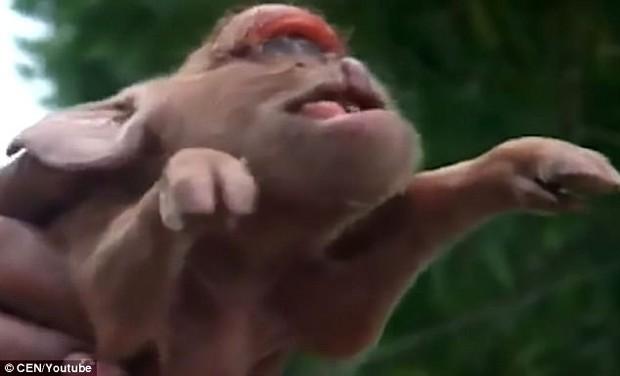Con lợn đột biến gen có khuôn mặt vừa giống người khổng lồ một mắt, vừa giống tinh tinh - Ảnh 3.