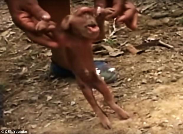 Con lợn đột biến gen có khuôn mặt vừa giống người khổng lồ một mắt, vừa giống tinh tinh - Ảnh 2.