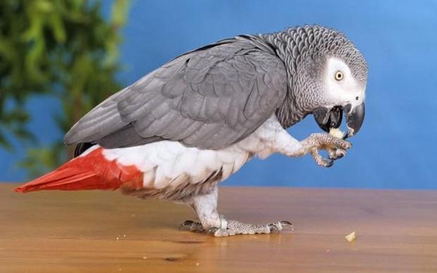 Chú vẹt nói tiếng Anh bỗng chuyển sang tiếng Tây Ban Nha sau 4 năm đi lạc - Ảnh 1.