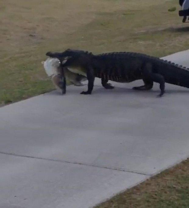 Người chơi sợ xanh mặt khi thấy con cá sấu miệng ngậm con mồi, lang thang trong sân golf - Ảnh 2.