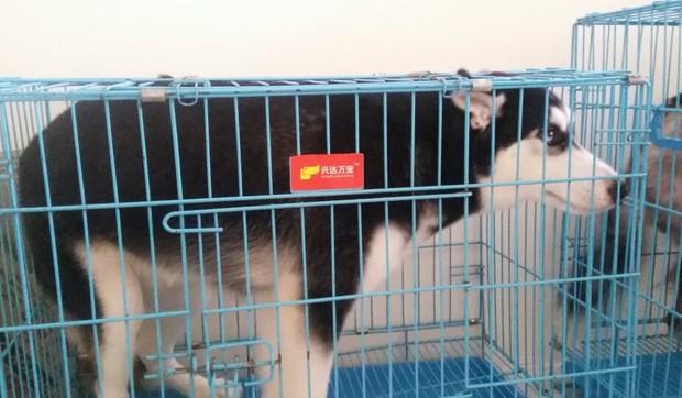 Hà Nội: 4 chú chó con dòng Border Collie nằm thoi thóp sau khi bị ném từ tầng 40 chung cư xuống đất - Ảnh 7.