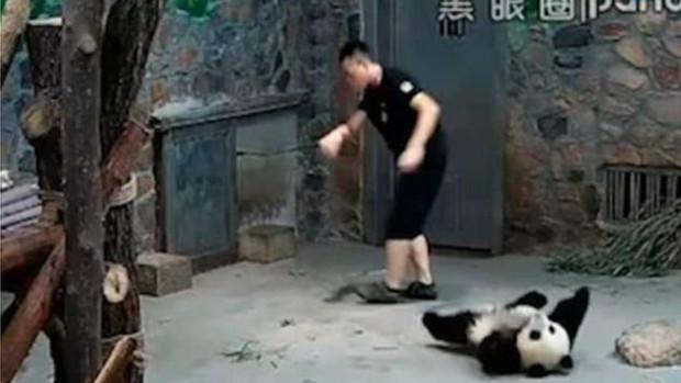Sự thật đằng sau đoạn video bạo hành gấu trúc khiến cộng đồng mạng Trung Quốc phẫn nộ - Ảnh 2.