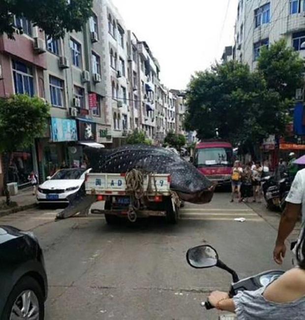 Trung Quốc: Bị bắt vì chở cá mập voi quý hiếm bán cho nhà hàng - Ảnh 1.