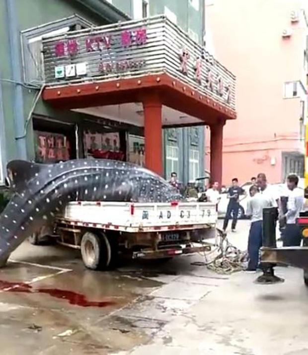 Trung Quốc: Bị bắt vì chở cá mập voi quý hiếm bán cho nhà hàng - Ảnh 2.